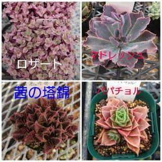 【claraさんご注文】多肉植物(その他)