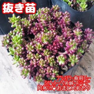【抜き苗】ポーチュラカ ピンキー多肉植物 紅葉(その他)