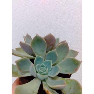 観葉植物 ピンクプリティー(置物)