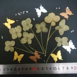 ❤️天然四つ葉のクローバー❤️純正白詰草、8枚セット❮送料無料❯(ドライフラワー)