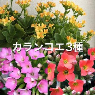 カランコエ3種(黄色・ピンク・オレンジ)【挿し木】(その他)