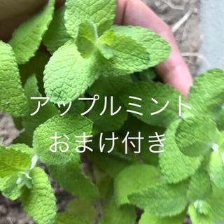 無農薬アップルミント根付き苗選べるおまけ付き(その他)