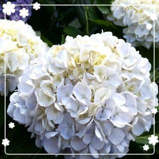 ♥️大きな白い紫陽花(その他)