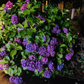 紫陽花(ドライフラワー)