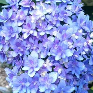 ♥️紫陽花挿し穂(その他)
