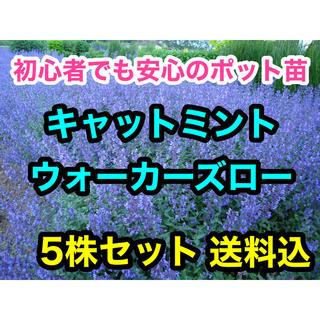 キャットミント ウォーカーズロー 9cmポット苗 5株セット おまとめ可能(その他)