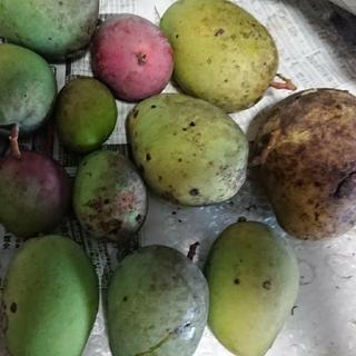 10. グリーンマンゴー 3.5kg 漬物用(フルーツ)