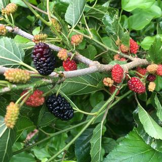 桑の木 マルベリー 挿し木用6本(フルーツ)
