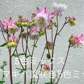 オダマキ 八重咲き 種 5色ミックス(その他)