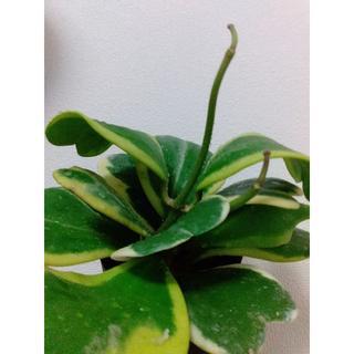 ホヤ 観葉植物(置物)