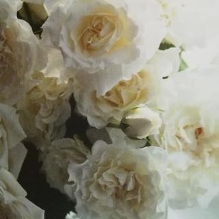 白バラ 昨年秋の挿し木苗(その他)
