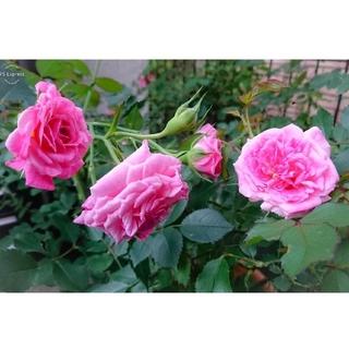 SALE★強健で絶え間なく咲く薔薇【スウィートドリフト】ピンク バラ苗 大苗(その他)