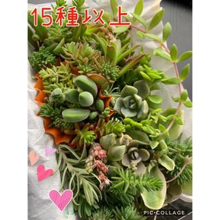 超特価♡多肉植物♡ 15種以上 寄せ植え カット苗 もりもりパック 小(その他)