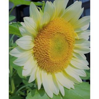 おしゃれで人目を惹きます! 綺麗で上品 珍しい白い向日葵の種5粒(その他)