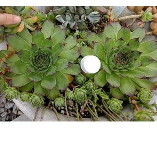 多肉植物『センペルビウム②』4個(その他)