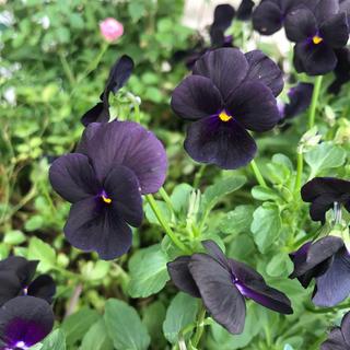珍しい黒いビオラの種 10粒 ギャザリング 寄せ植えにも(その他)