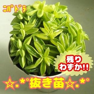 【抜き苗】ニパドラ 多肉植物 ペペロミア(その他)