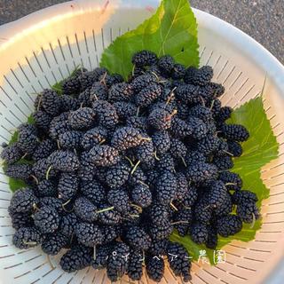 桑の実 マルベリー無農薬栽培 1kg(フルーツ)