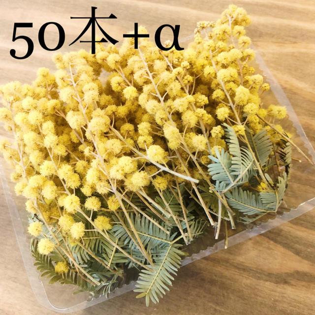 アカシアミモザのドライフラワーの小枝達50本+オマケ ハンドメイドのフラワー/ガーデン(ドライフラワー)の商品写真