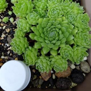 多肉植物『センペルビウム①』4個(その他)