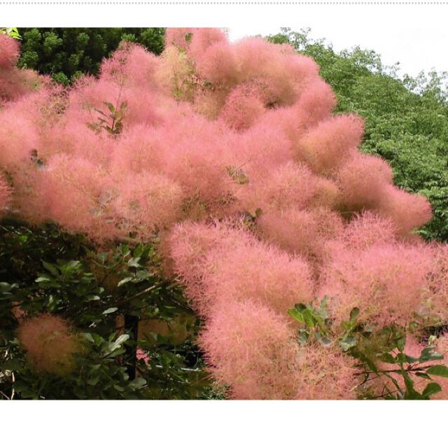 スモークツリー ラブリーローズ ハンドメイドのフラワー/ガーデン(その他)の商品写真