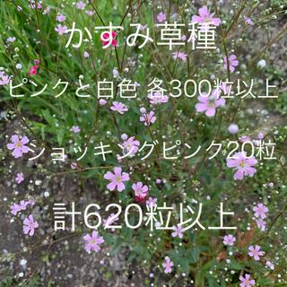 かすみ草種 ピンク色と白色 各300粒 計600粒以上(ドライフラワー)