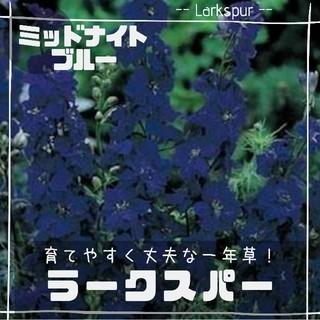 【ラークスパー③】ミッドナイトブルー 種子12粒(その他)