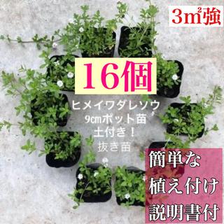 ヒメイワダレソウ 白花 16個 土付抜き苗9㎝ポット(7.5㎝ポット27個相当(その他)