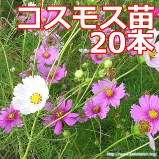 ■コスモス苗20本程度フラワー花☆送料込♪(その他)