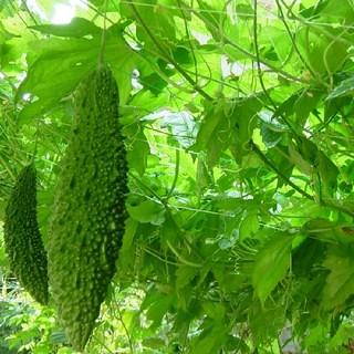 ゴーヤ 種 グリーンカーテン エコ 送料無料(野菜)