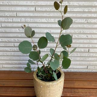 ユーカリ ポポラス 育てやすい かわいすぎる 抜き苗 やっと入荷 激安 06(プランター)