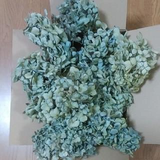 アジサイドライフラワー 青緑~黄緑紫~水青黄 ヘッド8(ドライフラワー)