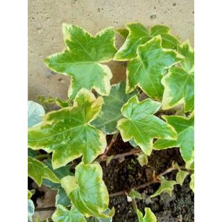 アイビー ヘデラ 斑入り 観葉植物 グリーン 癒やし  寄せ植え ガーデニング (その他)