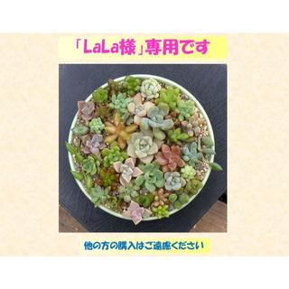 多肉植物 【0322】  カラフル肉厚系多肉40種セット(その他)