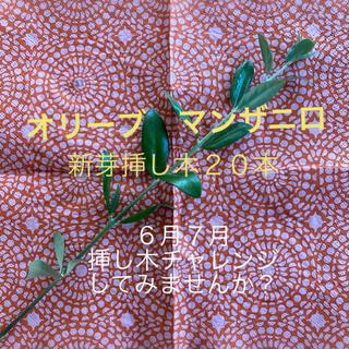 オリーブの新芽 マンザニロ 無農薬 挿し木 スワッグ リース ドライフラワー (その他)
