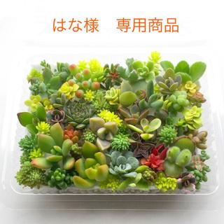 はな様専用商品 多肉植物 セダム⭐︎その他カット苗パック 15種類以上 (その他)