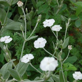 リクニス・コロナリア(フランネルソウ)白花の種子約30粒(その他)