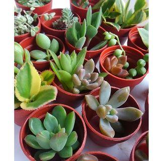 多肉植物カット苗20種類+おまけ(その他)