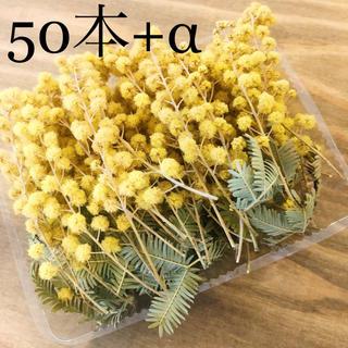 アカシアミモザのドライフラワーの小枝達50本+オマケ(各種パーツ)