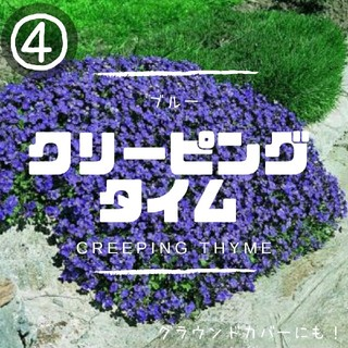 【クリーピングタイム④】ブルー種子20粒 グラウンドカバー、花壇の縁取に!(その他)