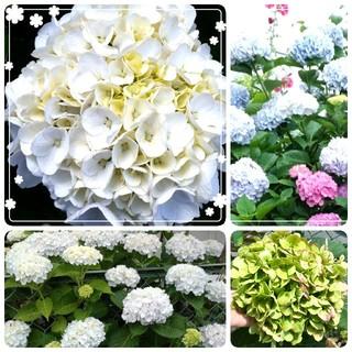 超人気の初心者向き♥️最強‼️白い紫陽花(その他)