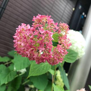 紫陽花挿し穂  なな様専用(その他)