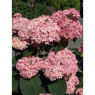 そろそろ終了‼️お花屋さんが作ったピンクアナベルの挿し穂 2本です‼️(その他)