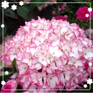 縁がピンクの紫陽花(その他)