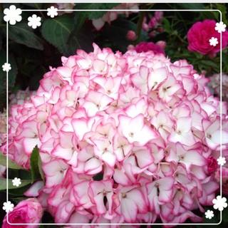 ばな様専用♥️縁がピンクの紫陽花3本(その他)