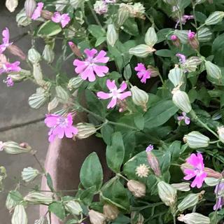 シレネ(ピンク)シレネペンデュラ 花の種100粒MIX(その他)