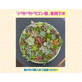 多肉植物 【0325】  カラフル肉厚系多肉40種セット(その他)