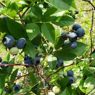 生ブルーベリー 1キロ(フルーツ)