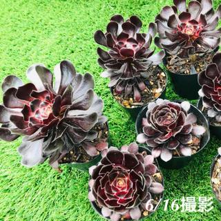 ルポゼ 多肉植物 黒法師(その他)