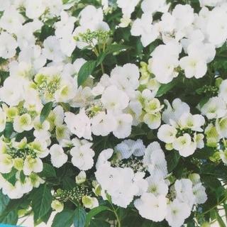 B 一度咲き終わったあとに6月又美しく咲いたラグランジア超絶!枝の全てに花が咲く(ドライフラワー)